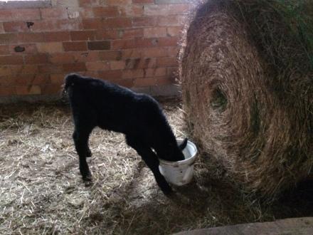 orphan calf